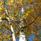 Birke / Betula pendula