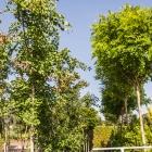 Ginkgobaum / Ginkgo biloba & Kugel-Robinie / Robinia ps. Umbraculifera