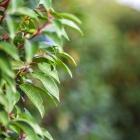 Portugiesische Lorbeerkirsche / Prunus lus. Angustifolia