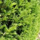 Gemeine Eibe / Taxus baccata