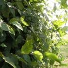 Hainbuche / Carpinus betulus