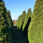 Lebensbaum / Thuja occ. Brabant