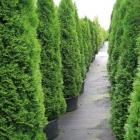 Lebensbaum / Thuja occ. Smaragd