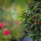 Portugiesische Lorbeerkirsche / Prunus lusitanica Angustifolia