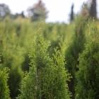 Lebensbaum Smaragd / Thuja occidentalis Smaragd