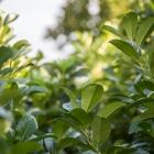 Aufrechte Lorbeerkirsche / Prunus laurocerasus Herbergii