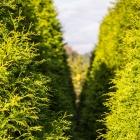 Lebensbaum Brabant / Thuja occidentalis Brabant