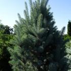 Blaue Säulen-Stechfichte / Picea pungens Iseli Fastigiata