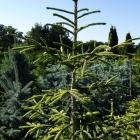 Orientalische Goldfichte / Picea orientalis Aurea