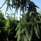 Hänge-Fichte / Picea abies Inversa