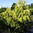 Gelbe Adlerschwingen-Eibe / Taxus baccata Dovastoniana Aurea