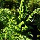 Hahnenkamm-Sicheltanne / Cryptomeria japonica Cristata