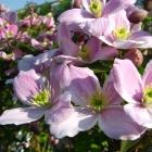 Anemonen-Waldrebe / Clematis montana Rubens