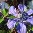 Großblumige Waldrebe / Clematis Hybride in Sorten