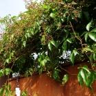Wilder Wein / Parthenocissus quinquefolia