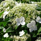Kletterhortenise / Hydrangea petiolaris