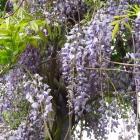 Blauregen / Wisteria sinensis