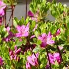 Frühe Alpenrose / Rhododendron praecox