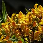 Alpenrose / Rhododendron gelb