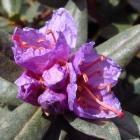 Zwerg-Rhododendron / Rhododendron impeditum Moerheim