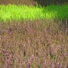 Sommerheide / Calluna vulgaris in Sorten ab September