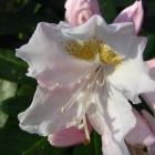 Alpenrose / Rhododendron Hybride weiß
