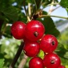 Johannisbeere rot / Ribes rubrum in Sorten