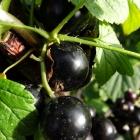 Johannisbeere schwarz / Ribes rubrum in Sorten
