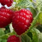 Himbeere / Rubus idaeus in Sorten