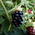 Brombeere / Rubus fructicosa in Sorten
