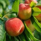 Pfirsich / Prunus persica in Sorten