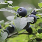 Heidelbeere / Vaccinium corymbosum in Sorten