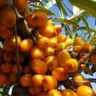 Sanddorn / Hippophae rhamnoides Friesdorfer Orange
