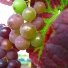 Tafeltraube / Vitis in Sorten