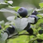 Vaccinium myrtillus - bilberry, blueberry