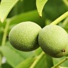 Obst Walnuss