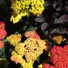 Schafgarbe / Achillea millefolium Summer-Fruits-Carmine