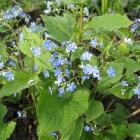 Kaukasusvergissmeinnicht / Brunnera macrophylla
