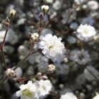 Kriechendes Schleierkraut / Gypsophila repens Rosenschleier