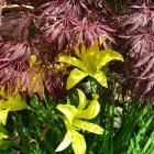 Taglilie / Hemerocallis in Sorten