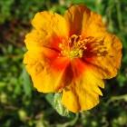 Sonnenröschen / Helianthemum x cultorum Braungold