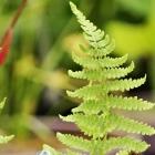Sumpffarn / Thelypteris palustris