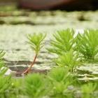 Wasserfeder / Hottonia palustris
