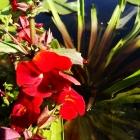 Gauklerblume / Mimulus cupreus Roter Kaiser