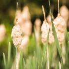 Kleiner Rohrkolben / Typha angustifolia