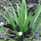 Wasserpfl.-Krebsschere
