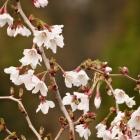 Frühe Zwerg-Zierkirsche / Prunus inc. Kojou-no-mai