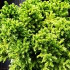 Zwerg-Wacholder / Juniperus procumbens Nana