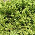 Zwerg-Nest-Fichte / Picea abies Little Gem
