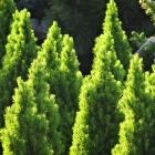 Zuckerhutfichte / Picea glauca Conica